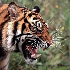 tiger roar side view. Delighful Roar Tiger Roar To Side View A