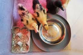 ever muss free duckling brooder