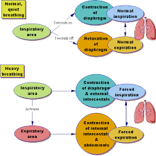Respiratory System Flow Chart Respiration