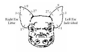 Pig Ear Notch Chart In A Pigs Ear Pairodox