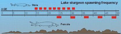 Lake Sturgeon Fact Sheet Life Cycle Wisconsin Dnr