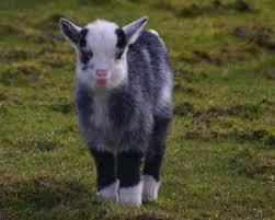 baby goat smiling jpg