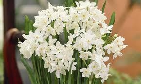 White Paper Flower Bulbs Paper White Flower Bulbs 10 Count