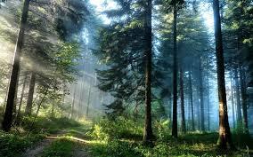 Free download 64 Pine Tree Wallpapers ...