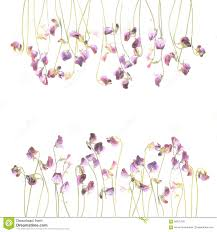 Pea Design Pretty Violet Watercolor Sweet Pea Flowers Stock