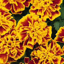 marigold french super hero bee tray of 40 plug plants
