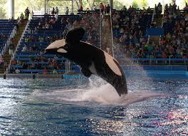 shamu at seaworld san antonio