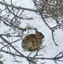 Image result for rabbit in burrow in winter