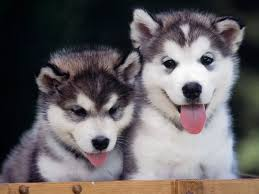 baby husky wallpaper. Plain Wallpaper Siberian Husky Wallpapers  Wallpaper Cave  Images  For Baby U