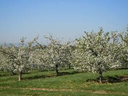 Timing Of Apple Tree Bloom Apples