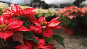 Aldi Kunde Regt Sich Wegen Weihnachtsstern Auf Discounter