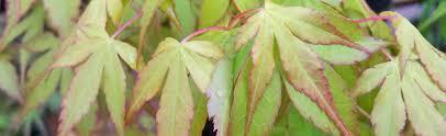 acer palmatum japanese maple at