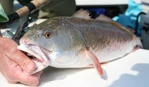 North Carolinas Best Saltwater Fishing