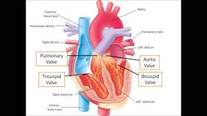 human heart in hindi essay on human heart structures of the heart   human heart in hindi parts and functioning of the human heart wmv google drive