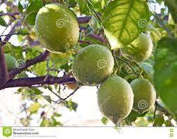 Lemon Tree Bearing Fruit During Spring Stock Photo  Image 60478609Tree Bearing Fruit