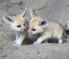 baby fennec fox. Brilliant Fennec Throughout Baby Fennec Fox