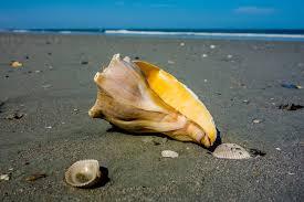 Seashells And Fossils In Folly Beach Sc Follybeach Com