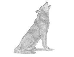 white wolf growling drawing. How To Draw Wolf Howling On White Growling Drawing
