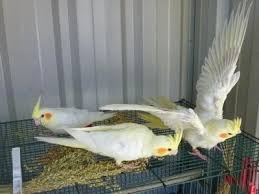 Hand Tamed Cockatiel Pair for Sale, Hyderabad for Sale in Khairatabad, Andhra Pradesh Classified | IndiaListed.com