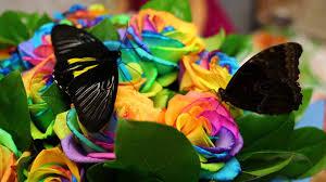 big pictures of butterflies. Unique Butterflies Two Big Butterflies Sit On Bouquet Of Rainbow Roses Stock Video Footage   Videoblocks Inside Big Pictures Of Butterflies C