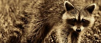 Baby Raccoon Age Chart Raccoon Lifespan Wild Vs Pet Raccoons Get Raccoons Out
