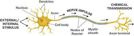 Neuron Structure Course Hero