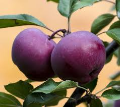 Billedresultat for red love æble