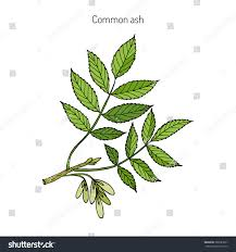 tree branch with leaves vector. common ash tree branch with leaves. botanical vector illustration leaves