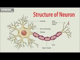 Structure Of Neuron B Sc M Sc Physiology Gurukpo Youtube
