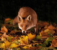 Image result for fox at night