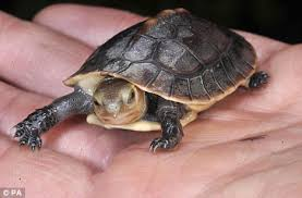 box turtle size shell shock rare chinese turtle the size of a matchbox born in a