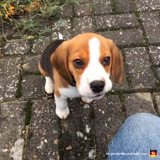 cute beagle puppies. Interesting Puppies 01cutebeaglepuppybrowneyes And Cute Beagle Puppies S
