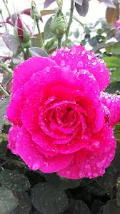Rained Rose Photograph by Dustin Palmer