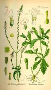 Verbena officinalis - Wikipedia