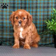 a cavalier king charles spaniel puppy named sparky