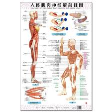 Anatomy Of The Human Body Muscle And Nerve Charts 3pcs Front Side Back English And Chinese Female Male Bilingual Posters