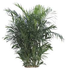 ... Awesome Low Light Plants Indoor On Bamboo Palm ...