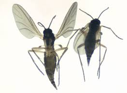 Fungus Gnats Attracted To Light Fighting Fungus Gnats Kentucky Pest News