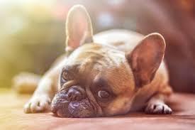 Growth French Bulldog Puppy Weight Chart French Bulldog