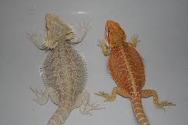 Boy Or Girl Heres How To Sex Your Bearded Dragon Easily