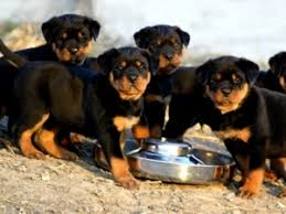 Rottweiler Size And Weight Chart Rottweiler Growth Chart Karmas Rottweilers