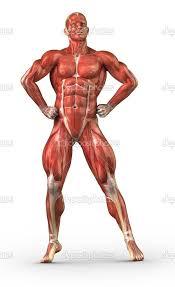 Human Muscular System – citybeauty.info