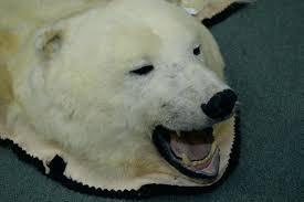 bear head rug polar bear rug image 2 mounted polar bear rug including full head claws bear head rug