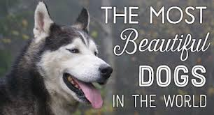 most beautiful dog breeds in the world. Contemporary The A List Of The Most Beautiful Dog Breeds In World Including Images  Each Inside Most Beautiful Dog Breeds In The World O