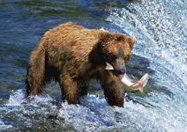 El oso pardo, un depredador implacable