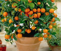 20 Edible Fruit Mandarin Bonsai Tree Seeds Citrus Bonsai Mandarin Small Orange Fruit On Tree