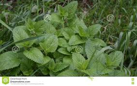 grass blade close up. Green Lemon Balm With Grass Blades Filling The Frame Stock Footage - Video Of Medicinal, Medical: 76167428 Blade Close Up