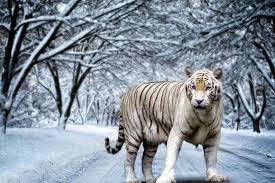 tiger wallpaper high resolution.  Resolution White Tiger High Definition Wallpapers With Wallpaper Resolution T