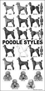 Poodles Pets Other Animals Caniche Perros Caniche Toy