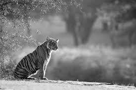black and white animal photography. Beautiful And Bengal Tiger Cub Sitting On Rocky Ledge Ranthambhore National Park  Rajasthan India To Black And White Animal Photography I